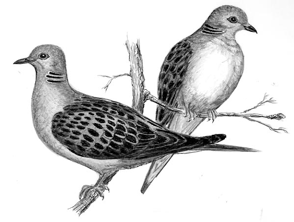 2turtledoves.jpg (599×453)